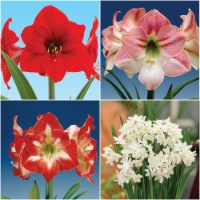 Economy Amaryllis (3) and Paperwhite (12) Collection