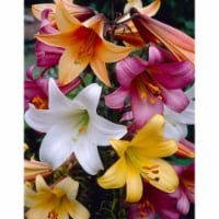 Trumpet Lily Bulb Collection (8 pack)