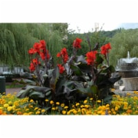 Black Knight Canna Roots (5 pack)
