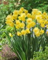 Daffodil Yellow Cheerfulness (8 pack)