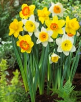 Large Cupped Daffodil Mix