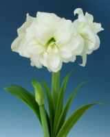 Amaryllis Alfresco 26/28cm (1-pack) with Pot