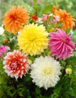 Dinnerplate Dahlia Mix Roots (6 pack)