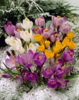 Crocus Snow Mix