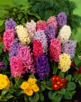 Hyacinth Giant Mixture