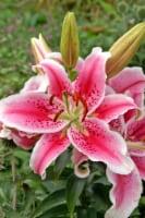 Stargazer Oriental Lily (3 pack)