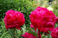 Karl Rosenfield Peony Roots (1 pack)