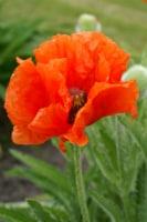 Prince of Orange Oriental Poppy Roots(3 pack)