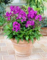 Phlox Nicky Tall Roots (3 pack) - 1