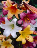 Trumpet Lily Mixed (3 pack)