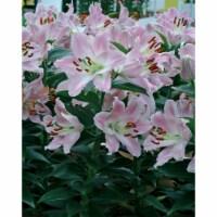 Souvenir Oriental Lilium Bulb (1 pack)