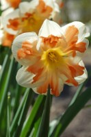 Narcis Apricot witrl