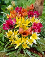 Tulipa Wild Perenial mix