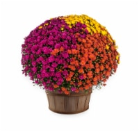Tricolor Hardy Mum with Basket - 10-inch pot