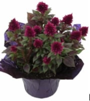 Celosia 6-Inch Flowering Plant - 6 in