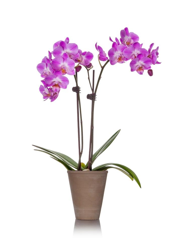 Orchid Petite 2/' pot